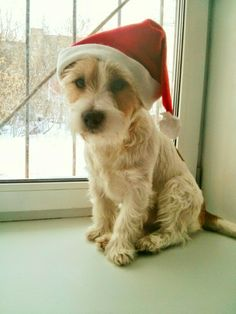 Jack Russell Terrier long hair dog christmas
