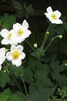 Anemone x hybrida 'Honorine Jobert' (Japanese windflower) - fall blooming!