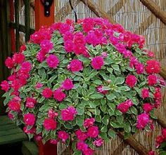 hanging baskets full sun | Choose healthy, stocky with plenty of green leaves and flowers over ...