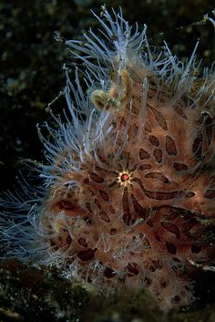 Very Hairy Frogfish