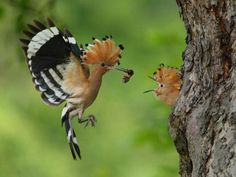 Gorgeous shot of a Hoopoe bird, which is  native to South Africa......