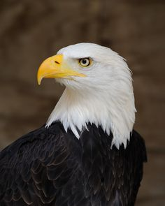 All types of eagle birds in the world with amazing facts. Eagles are some of the largest birds. They are at the top of the food chain, with some species feeding on big prey like monkeys and sloths. The Eagles, Bald Eagles, Eagle Images, Eagle Pictures, Photo Aigle, Beautiful Birds, Animals Beautiful, Tier Fotos, Colorful Birds