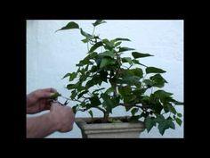 Trabajos de pinzado sobre Hiedra de 2 años aprox como bonsai.Comentarios sobre cuidados de plantas en general.Por favor no me de usted consejos se equivocarm...