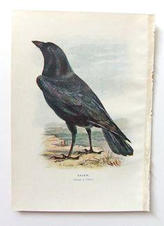 Raven - Antique Bird Picture - Vintage Bird Illustration - Bird Print by E. Turek  - Gift for a Goth - paper goods - ephemera