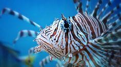 ... Tudo Roch@ ...: Natureza Incrível #14 - Já ouviu falar do peixe leão, um invasor dos mares?