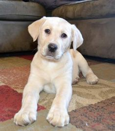 Awesome Beautiful Yellow Labrador Puppy!  #cooldogs  #puppy