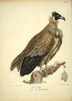 https://flic.kr/p/e6Ge3P | n93_w1150 | Histoire naturelle des oiseaux d'Afrique /. A Paris :Chez J.J. Fuchs, libraire ...,7, 1799-1808. biodiversitylibrary.org/page/41412189