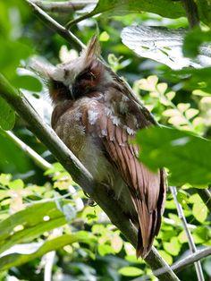 Crested Owl, El Valle, Panama