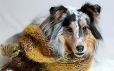 Long-haired Collie, cute dog, pets, dogs