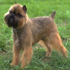 Brussels Griffon- As Good as it Gets brought this dog to the public eye. It came close to competing with Jack Nicholson, not a common feat.