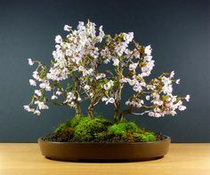 Cherry bonsai. I love Bonsai trees. Please check out my website thanks. www.photopix.co.nz