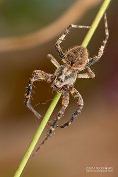 Orb web spider (Neoscona sp.)