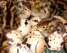 Raise Coturnix Quail for Eggs