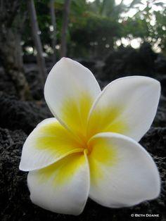 favorite flower the plumeria