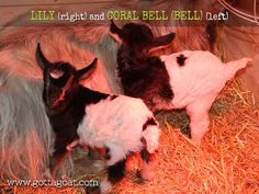 2017 Goat Kids Have Arrived! Fainting Goat, New Kids, Goats, Miniature, Animals, Animales, Animaux, Miniatures, Goat