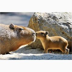 Capybara - looks like a big guinea pig, so cute! xD