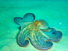 octopus off Greek coast by Mia Russell