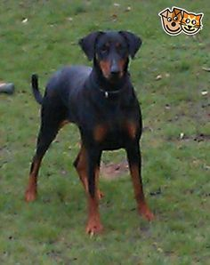 ** Dobermann Puppies Due On 13th June ** | Kings Langley, Hertfordshire | Pets4Homes