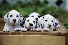 dalmatian puppy from rear Cute Puppies, Dogs And Puppies, Dalmatian Puppies, Miniature Dalmatian, Pet Dogs, Dog Cat, Doggies, Baby Animals, Cute Animals