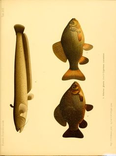 2 - A history of Scandinavian fishes / - Biodiversity Heritage Library