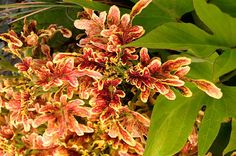 We share our top picks of brand-new flowers for including Under the Sea coleus, Boulevard Nubia clematis, and Strawberry Shake hydrangea. Foliage Plants, Blossom Flower, Clematis, Under The Sea, Trees To Plant, Good News, Hydrangea, Bloom, Birds