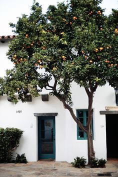 Orange tree, Santa Barbara.