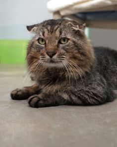 Oliver in Houston, TX: This handsome kitty came to Friends for Life after he was rescued from life as a stray. He has the look of a gentleman and is wise beyond his years. He loves to sit on a window sill, travel in a car, and as with all cats, will find a high place,...