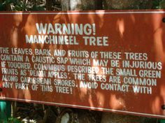 manchineel-tree