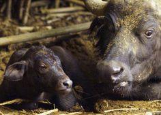 South Africa Unveils Test-tube Buffalo Plans IVF Rhino - Voice of America #757LiveAU