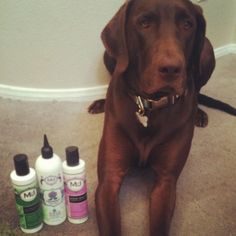 For short-coated dogs with dry skin, we recommend using Nutrient Fusion pre-bath treatment, FreshenUp Cleansing Treatment and then Show Dog Shine in-between bath sessions! Visit our MJDog.com/Shop to stock up on these great products.