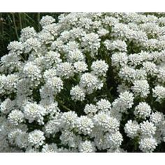 Candytuft Evergreen White Seeds - Iberis Sempervirens   /   Compact, mound-forming, semi-woody plant with evergreen foliage and fragrant showy flowers attract bees and butterflies. /   Season: Perennial Height: 10 Inches Bloom Season: Spring/Summer  Sun/Partial Shade Soil Type: Average/Dry/Moist well-drained,  USDA Zones: 3-9     PLANTING  Sow Indoors: Spring (6-8 weeks before last frost) Sow Outdoors: Spring Seed Depth: 1/16 inch Germination Time: 21-28 Days