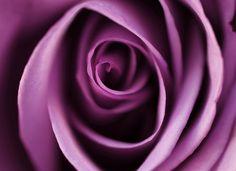 Purple Rose by j man ツ - Jacob Edmiston