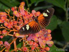 https://flic.kr/p/N66BqT | Red Postman, Heliconius erato lativitta on Palicourea sp. | from Ecuador: www.flickr.com/andreaskay/albums