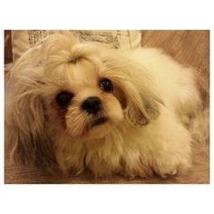 Luna #shihtzu #dog #family #philippines #シーズー #犬 #フィリピン