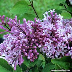 Pink Lilac Palibin, Syringa meyeri, Dwarf Korean Lilac
