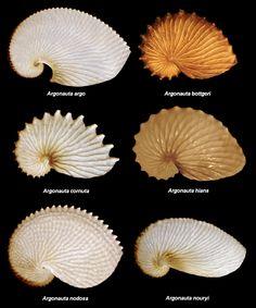 File:Argonauta species.PNG