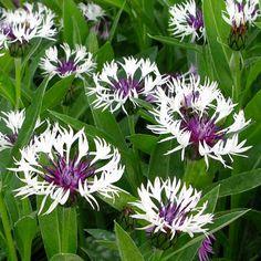 Centaura Montana ' Purple Heart'