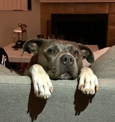 American Pit Bull Terrier dog for Adoption in Mission Viejo, CA. ADN-818799 on PuppyFinder.com Gender: Female. Age: Adult #pitbull