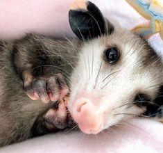 Smol little buddy . Baby Possum, Cute Animal Photos, Opossum, My Animal, Ferret, Rats, Animal Kingdom, Cute Animals, Wildlife