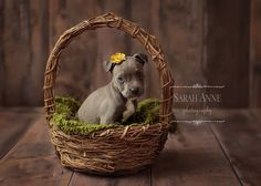 Blue pit bull pup. Newborn puppy in basket with moss layer. Photo. Sarah Anne Photography: Cincinnati photographer