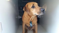 11/28/16- SUPER URGENT - HOUSTON FACILITY IS OVER CAPACITY -This DOG - ID#A472802  I am a female, brown Labrador Retriever.  The shelter staff think I am about 4 years old.  I have been at the shelter since Nov 21, 2016.  This information was refreshed 1 hours ago and may not represent all of the animals at the Harris County Public Health and Environmental Services.