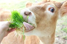 How To Sprout Grain for Livestock