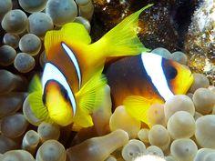 Poisson-clown à deux bandes : Le meilleur du concours de photos sous-marines - Linternaute