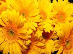 Varias gerberas amarillas