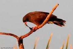 Gavião Caramujeiro(Rostrhamus sociabilis)(Snail Kite)---Saboreando caramujo fresquinho