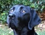 Maybelle, female black Labrador puppy in training for Guide Dogs for the Blind