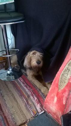 Otterhound Hide & Seek Olly the Otterhound