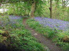 Heaton Woods bluebells May 2014