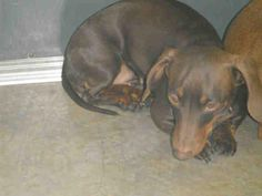 DOXIE LOVERS! CAN ANYONE HELP THESE 2 BONDED PAIR PUPS~URGENT  PENSACOLA, FLORIDA! COCO A244925  2 year old Dachshund mix~Needs rescue/ adopter now! Coco abandoned (along with her sister Roxie) by her family when they moved out of state. She is a scared little girl in this environment! Can you give Coco the forever home and the love that she deserves? If you can help save this little girl, please email adopt@saveasoutherndog.com or call the facility at (850)595 3075. PLEASE SHARE!