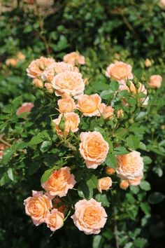 'Sweet Dream' roses